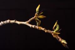 The blossoming poplar branch. Wildlife. Spring awakening. Stock Photos