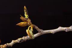 The blossoming poplar branch. Wildlife. Spring awakening. Royalty Free Stock Images