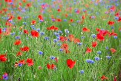 Blossoming poppies and cornflowers Royalty Free Stock Photos