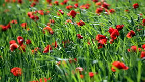 Blossoming poppies stock video footage