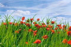 Blossoming poppies royalty free stock image