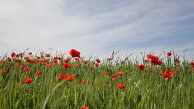 Blossoming poppies stock video