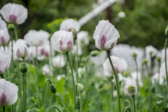 Blossoming poppies flowers. Flowering Poppy-heads field Royalty Free Stock Photos