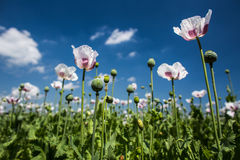 Blossoming poppies Royalty Free Stock Photo