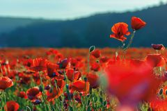 Blossoming poppy field. Beautiful summer nature background stock photos