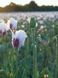 Blossoming poppy field Stock Image