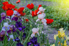 Blossoming poppy and gladiolus flowers. Blossoming poppy and gladiolus flowers in the summer garden stock photos