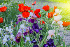 Blossoming poppy and gladiolus flowers. Blossoming poppy and gladiolus flowers in the summer garden stock photo
