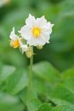 Blossoming potato. A white flower of a potato plant Stock Photos
