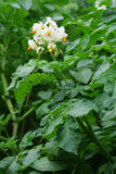 Blossoming potato. A white flower of a potato plant with green leaves Royalty Free Stock Photo