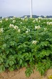 Blossoming of potato fields, potatoes plants with white flowers. Growing on farmers fiels Royalty Free Stock Images