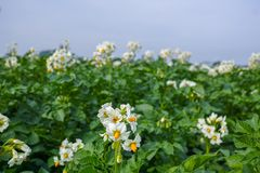 Blossoming of potato fields, potatoes plants with white flowers. Growing on farmers fiels Stock Photo