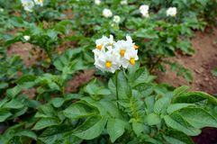 Flowering potato fields in the summer month of July. royalty free stock image