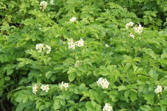 Blossoming potato Stock Photo