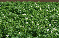 Blossoming potato plants. A big surface with potato plants on an agriculturally used area. The plants stand in full blossom. It is summer Stock Images