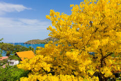 A blossoming poui tree in the caribbean Royalty Free Stock Image