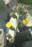 Blossoming prickly pear Stock Photography