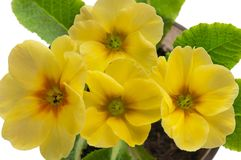 Blossoming primrose Stock Images