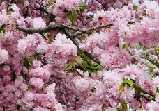 Blossoming prunus serrulata kanzan pink sakura cherry tree in spring royalty free stock photo