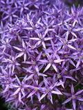 Blossoming purple allium background Royalty Free Stock Photos