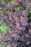 The blossoming purple barberry of Tunberg Berberis thunbergii D stock photo