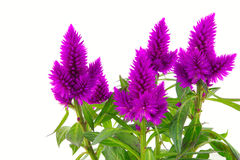 Blossoming purple cockscomb Stock Images