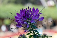 The Blossoming Purple Flower in the Cold Weather stock photo