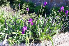 Blossoming purple irises on a flowerbed behind a fence. Spring flowers Stock Photos