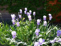 Blossoming purple irises on a flowerbed. Spring flowers Stock Image