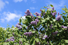 Blossoming purple lilac in the city park Royalty Free Stock Photos