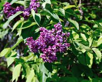 Blossoming purple lilac in the city park Stock Photos