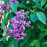 Blossoming purple lilac in the city park Royalty Free Stock Photo