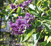 Blossoming purple lilac in the city park Royalty Free Stock Images