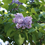 Blossoming purple lilac in the city park Royalty Free Stock Photography