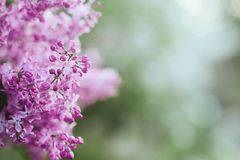 Blossoming purple lilacs in the spring. Selective soft focus, shallow depth of field. Blurred image, spring background stock photography