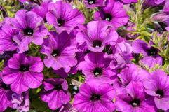 Blossoming purple petunia flowers Royalty Free Stock Photos