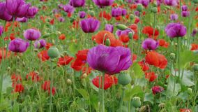 Blossoming purple, red poppies with straws, plant breeding. Blossoming purple and red poppies with unripe straws on farm. Plant breeding, genetic modification of stock video footage