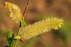 Blossoming pussy-willow Royalty Free Stock Photography