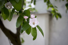 Blossoming quince. Royalty Free Stock Image