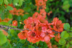 Blossoming quince branch Royalty Free Stock Images