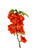 Blossoming quince branch Royalty Free Stock Photography