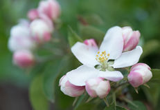 The blossoming quince branch. Over green background Stock Photography