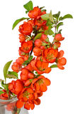 Blossoming quince branch Royalty Free Stock Photo