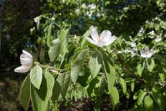 Blossoming quince branches with green pubescent leaves Royalty Free Stock Photo
