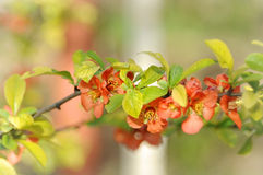 Blossoming quince Royalty Free Stock Photography