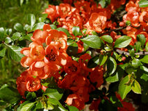 Blossoming quince Japanese in the spring Stock Photos