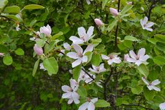 Blossoming quince tree in garden Royalty Free Stock Photos