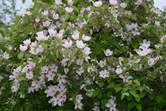 Blossoming quince tree in garden Stock Image