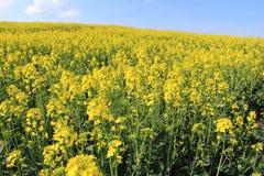 Blossoming rape field Stock Photo