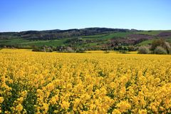 Blossoming rapeseed field in Saxony, Germany royalty free stock images